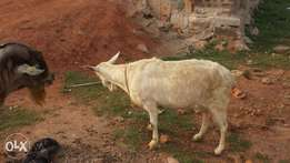 Nice milking goat male and female