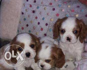 Cavalier King Charles puppies, TOP QUALITY, Imported from Ukraine