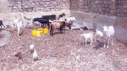 Goats/Sheep for Sale