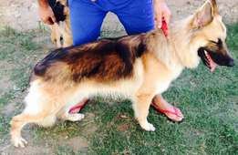 Large Long Coat German Shepard Stud Dog Available
