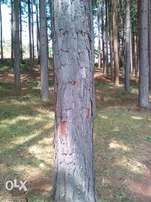 Pine Forest for Sale