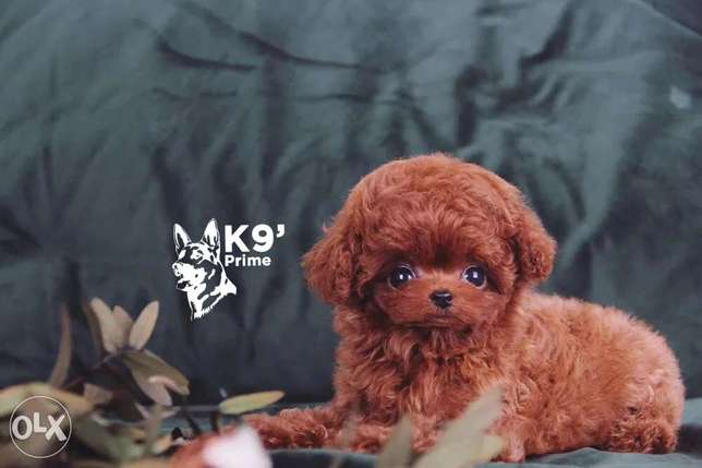 The cutest Poodle Toy everr