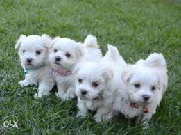 Maltese dog Puppies Pure Breed