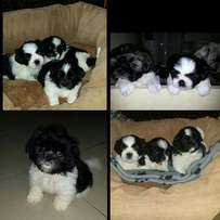 Pure Shih-tzu Puppies For Sale