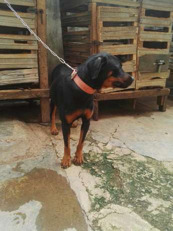 Female adults Rottweiler Ibadan Central - image 4