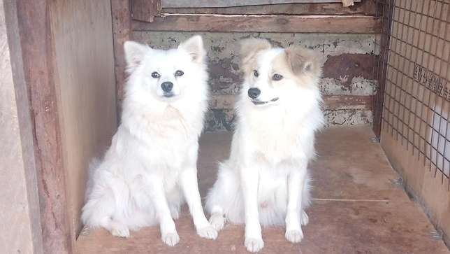 1 year old male Japanese spitz looking for a home Lower Kabete - image 3