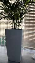 Indoor Palms in White Square Pots