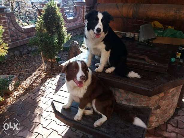 Imported Border Collie