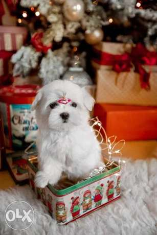 Now You Can Get Mini Maltese puppy From Best kennel in Ukrainian