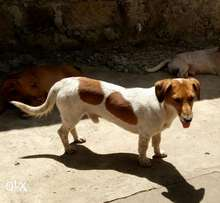Beautiful cross breed of Jack Russell & Sausage dog 3 yrs old .Very