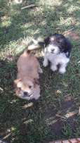 Morkies for sale
