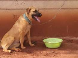 Boerboel mix mastiff