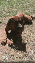 7month Boerboel male available