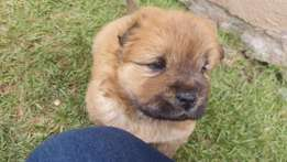 4 Chow puppies