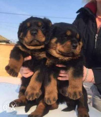 Imported Rottweiler puppies with Pedigree, Passport and microchip