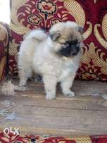 pure pomeranian male available