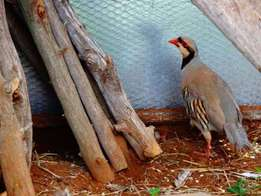 Chukar female