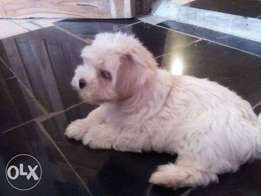 3months old female lhasa for sale