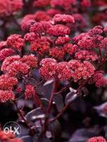Sedum Purple Emperor Flowers