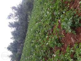 Shangi potatoes for sale0.5acre jubilee gunny