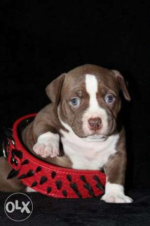 """Imported American Bully """"Top Quality"""" D.O.B: 07.03.2021"""