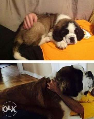 Saint bernard puppies.. Imported.. Premium quality..With all documents