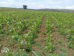 70 and 30 acres for sale Kinangop githambai area Ksh 600,000/ pa