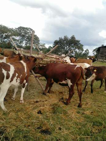 50 bulls on sale Eldoret North - image 1