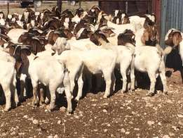 wholesale goats and sheep
