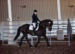 Beautiful, Safe Friesian Gelding