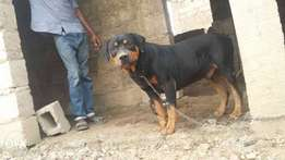 Adult male rot for sale