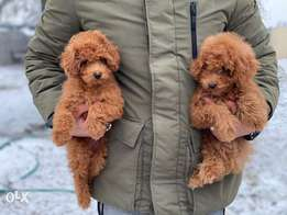 Immediate purchase, toy poodle Puppies From best kennels in Europe