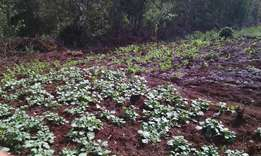 Sukuma wiki and spinach for sale