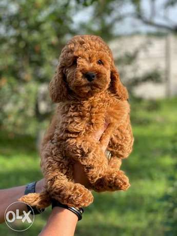 Imported Toy Poodle Male 3 Months Full documents From Ukraine