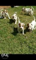 Short leg jack russel puppies