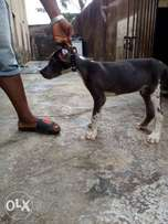 Male greatdane puppy