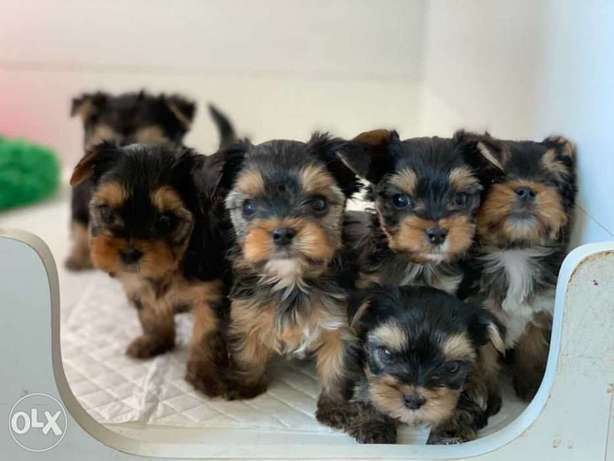 "Yorkshire Puppies Ready for reservation "" Imported"""
