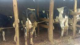 High breed dairy cows for sale.