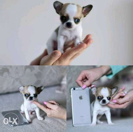 Best imported teacup chihuahua puppies with all documents