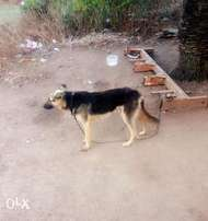 a active male gsd dog for sale or lease