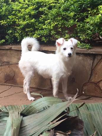8months old female Japanese spitz. All vaccinations done with Gatwikira - image 2