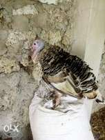 Mature female turkey ready for a tom