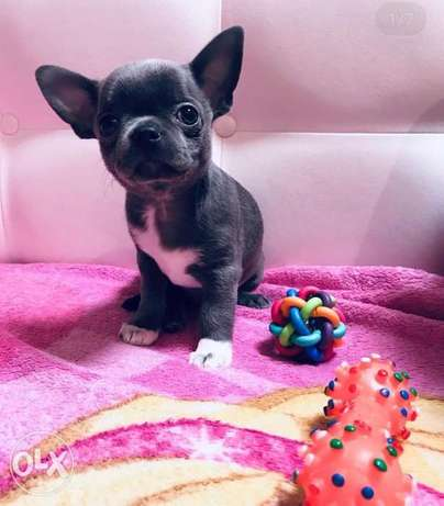 Chihuahua puppies, imported with Pedigree