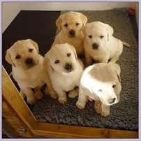Labrador puppies, five available.