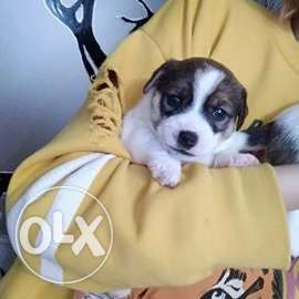 Jack Russell Terrier / Terrier, KSU puppies, with pedigree. Smooth-hai