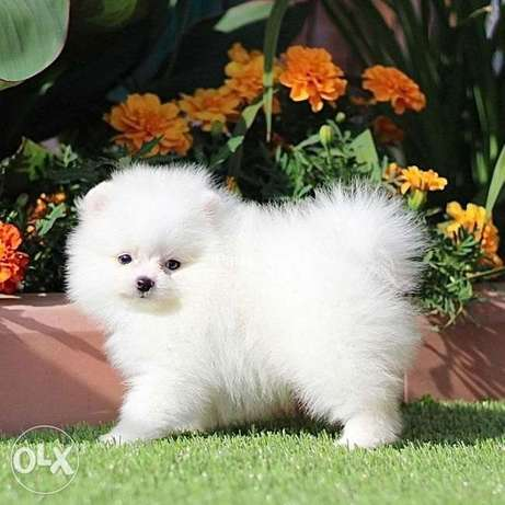 boys and girls of the Pomeranian Spitz bear type are on sale.