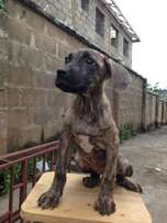 boerboel pup for sale