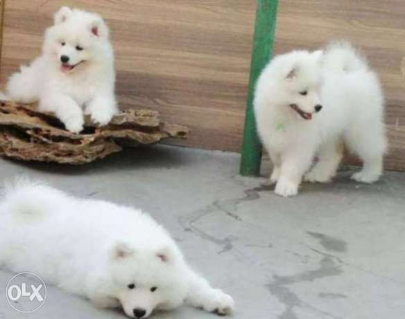 Arrived to Egypt, imported samoyed puppies with Pedigree & Microchip