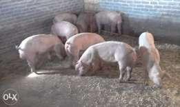 Top Quality F1 pigs for sale