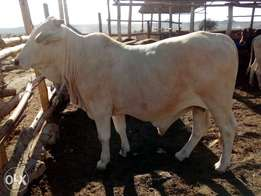 Beef cattle for sale